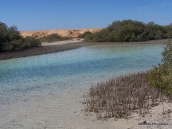 Ras Mohammed national park. Mangroves with Avicennia marina
