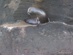 Bartolome Is. Galápagos sea lion (Zalophus wollebaeki)