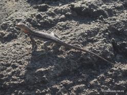 Bartolome Is. Galápagos lava lizard (Microlophus albemarlensis)