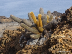 Bartolome Is. Lava cactus (Brachycereus nesioticus) (2)-001