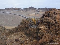 Bartolome Is. Lava cactus (Brachycereus nesioticus)
