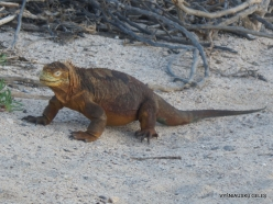 North Seymour Isl. Galapagos land iguana (Conolophus subcristatus) (11)