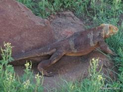 North Seymour Isl. Galapagos land iguana (Conolophus subcristatus) (13)