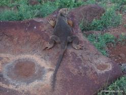 North Seymour Isl. Galapagos land iguana (Conolophus subcristatus) (3)