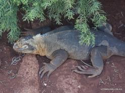 North Seymour Isl. Galapagos land iguana (Conolophus subcristatus) (6)