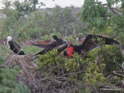 North Seymour Isl. Magnificent frigatebird (Fregata magnificens) (11)
