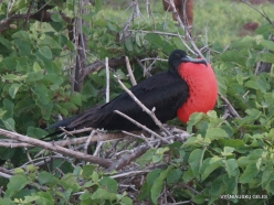 North Seymour Isl. Magnificent frigatebird (Fregata magnificens) (20)