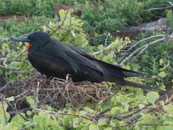 North Seymour Isl. Magnificent frigatebird (Fregata magnificens) (21)