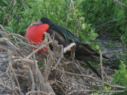 North Seymour Isl. Magnificent frigatebird (Fregata magnificens) (24)