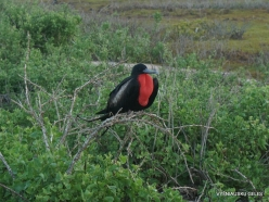 North Seymour Isl. Magnificent frigatebird (Fregata magnificens) (25)