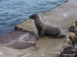 Santiago Isl. Sullivan Bay. Galápagos sea lion (Zalophus wollebaeki)