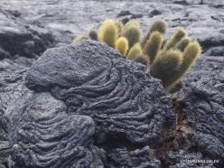 Santiago Isl. Sullivan Bay. Lava cactus (Brachycereus nesioticus) (3)
