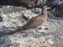 Santiago Isl. Sullivan Bay. Lava gull (Leucophaeus fuliginosus)