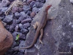Baltra Is. Galápagos lava lizard (Microlophus albemarlensis)