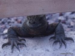 Baltra Is. Galápagos marine iguana (Amblyrhynchus cristatus hassi)