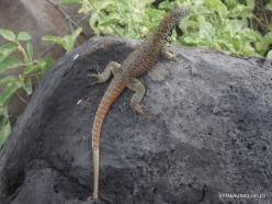 Espanola Isl. Española lava lizard (Microlophus delanonis) (4)