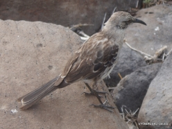 Espanola Isl. Espanola mockingbird (Mimus macdonaldi) (2)