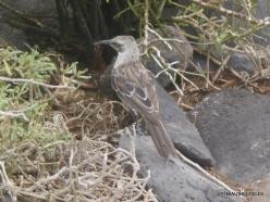 Espanola Isl. Espanola mockingbird (Mimus macdonaldi) (4)