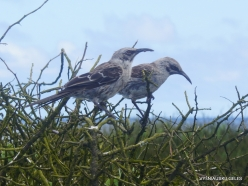 Espanola Isl. Espanola mockingbird (Mimus macdonaldi) (5)
