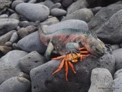 Espanola Isl. Galápagos marine iguana (Amblyrhynchus cristatus venustissimus) (10)