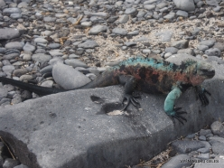 Espanola Isl. Galápagos marine iguana (Amblyrhynchus cristatus venustissimus) (12)