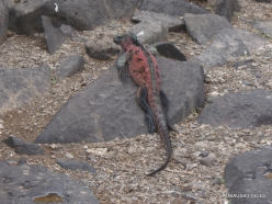 Espanola Isl. Galápagos marine iguana (Amblyrhynchus cristatus venustissimus) (19)