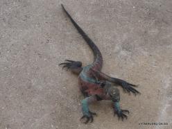 Espanola Isl. Galápagos marine iguana (Amblyrhynchus cristatus venustissimus) (2)