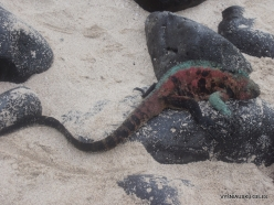 Espanola Isl. Galápagos marine iguana (Amblyrhynchus cristatus venustissimus) (4)