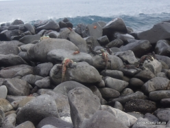 Espanola Isl. Galápagos marine iguana (Amblyrhynchus cristatus venustissimus) (6)