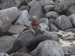 Espanola Isl. Galápagos marine iguana (Amblyrhynchus cristatus venustissimus) (7)