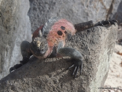 Espanola Isl. Galápagos marine iguana (Amblyrhynchus cristatus venustissimus) (9)