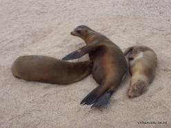 Espanola Isl. Galápagos sea lion (Zalophus wollebaeki) (5)