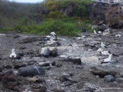 Espanola Isl. Nazca booby (Sula granti) (11)