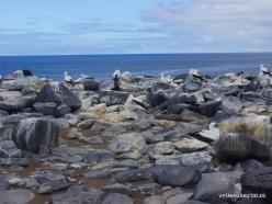 Espanola Isl. Nazca booby (Sula granti) (12)