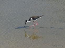 Santa Cruz Is. Playa las Bachas. Black-necked stilt (Himantopus mexicanus)