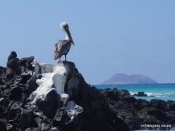 Santa Cruz Is. Playa las Bachas. Brown pelican (Pelecanus occidentalis urinator)