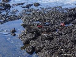 Santa Cruz Is. Playa las Bachas. Galápagos marine iguana (Amblyrhynchus cristatus hassi) (5)