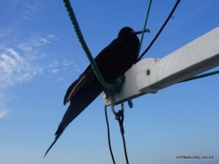 Santa Cruz Is. Playa las Bachas. Magnificent frigatebird (Fregata magnificens) (2)
