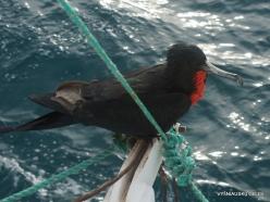 Santa Cruz Is. Playa las Bachas. Magnificent frigatebird (Fregata magnificens)