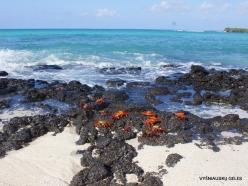 Santa Cruz Is. Playa las Bachas. Red rock crab (Grapsus grapsus) (4)