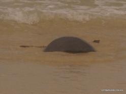 Floreana Isl. Cormorant Point. Galápagos green turtle (Chelonia mydas agassizii) (3)