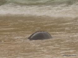 Floreana Isl. Cormorant Point. Galápagos green turtle (Chelonia mydas agassizii) (5)