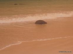Floreana Isl. Cormorant Point. Galápagos green turtle (Chelonia mydas agassizii)