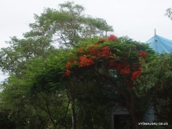 Santa Cruz Isl. Puerto Ayora. Caesalpinia pulcherrima