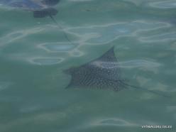 Santa Cruz Isl. Puerto Ayora. Spotted eagle ray (Aetobatus narinari) (2)