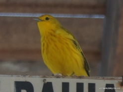 Santa Cruz Isl. Puerto Ayora. Yellow warbler (Setophaga petechia aureola) (2)