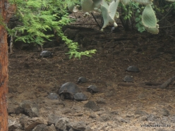 Santa Cruz Isl. The Charles Darwin Research Station. Babys of Galápagos giant tortoise (Chelonoidis sp.)