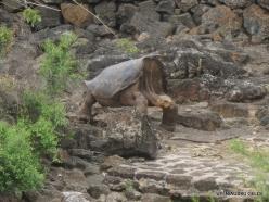 Santa Cruz Isl. The Charles Darwin Research Station. Floreana Island Galápagos tortoise (Chelonoidis nigra) (3)