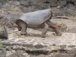 Santa Cruz Isl. The Charles Darwin Research Station. Floreana Island Galápagos tortoise (Chelonoidis nigra) (4)