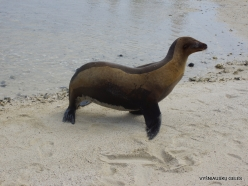 Genovesa Isl. Darwin Bay. (3) Galápagos sea lion (Zalophus wollebaeki)